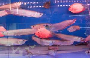 水质波动对龙鱼的危害以及治疗方法